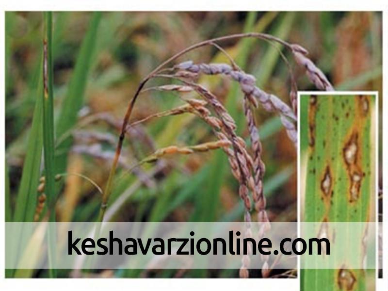 افزایش مقاومت برنج در برابر بیماری بلاست با کودهای سیلیکاته