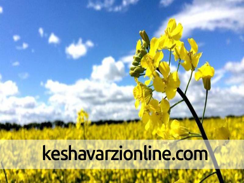 خرید کلزا در گلستان از 50 هزار تن گذشت