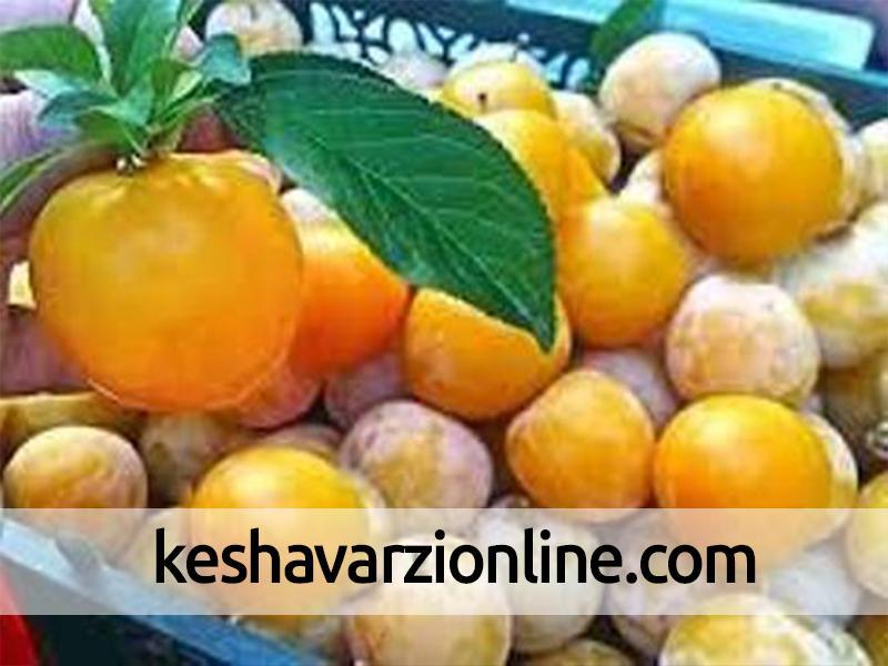 صادرات 1700 تن انواع آلو به ارزش 950 هزار دلار از رامیان گلستان