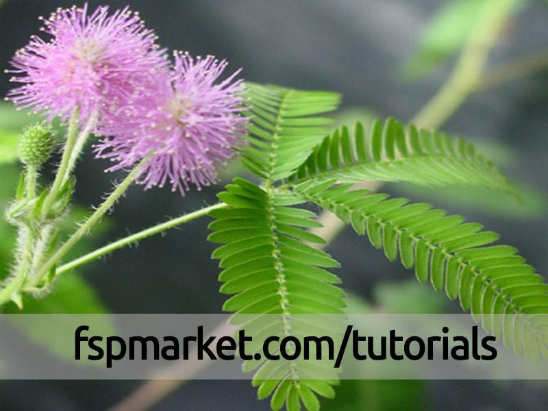 گیاه قهر و آشتی Mimosa pudica