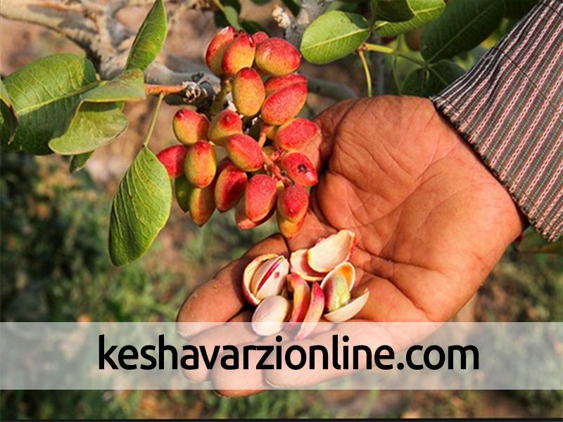 کاشت درختان پسته خوروبیابانک نتیجه بخش بوده است
