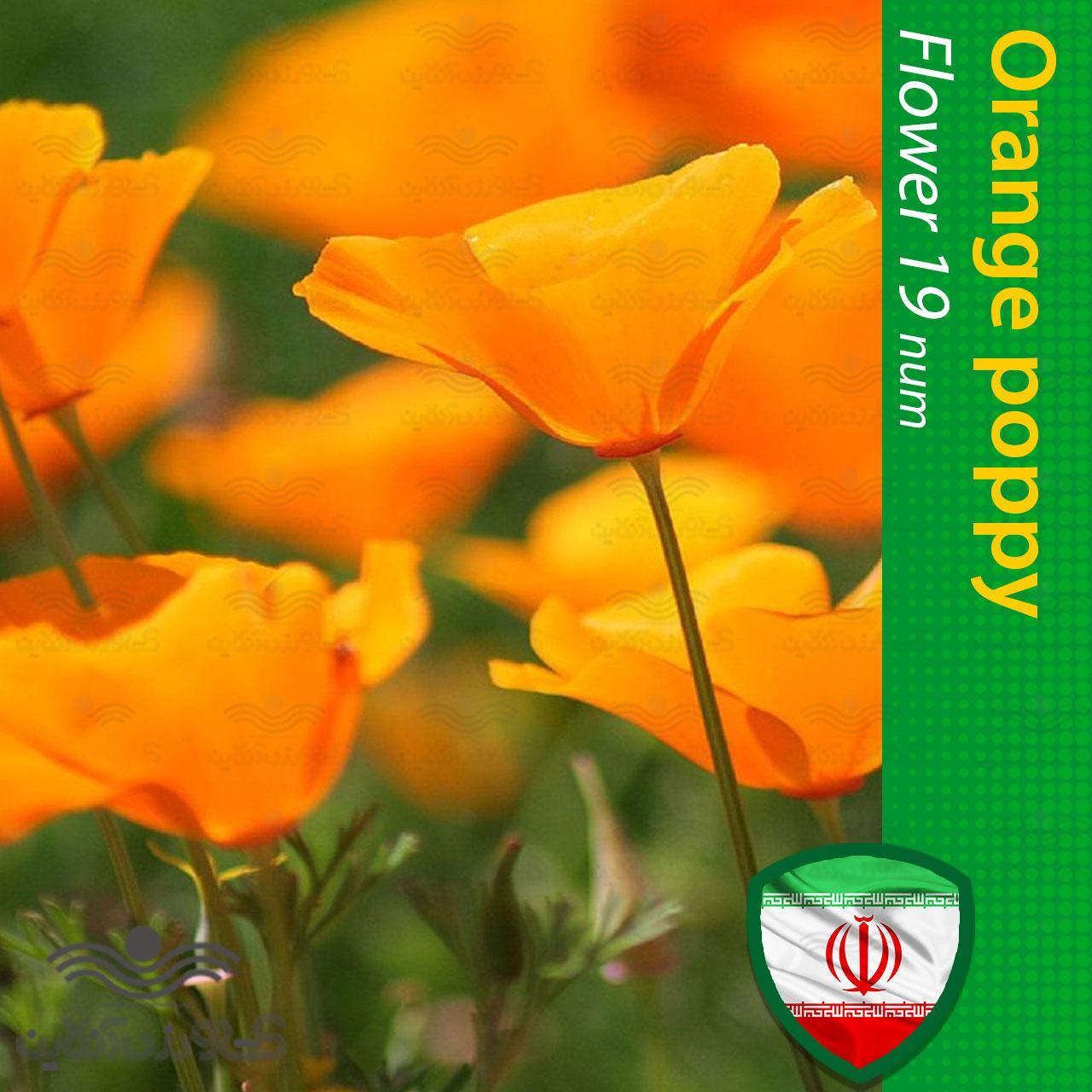بذر گل شقایق کالیفرنیایی پا کوتاه نارنجی