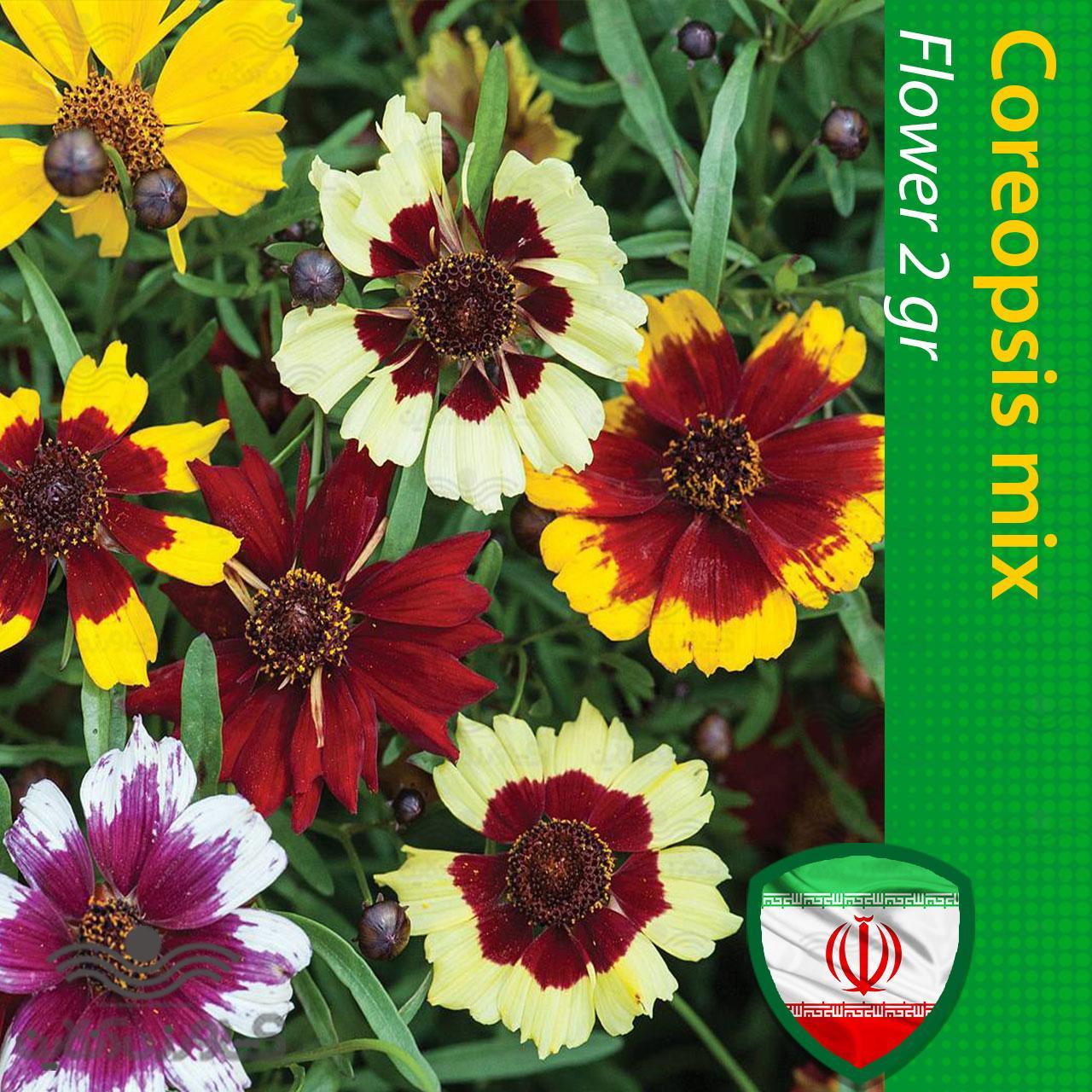بذر گل کوریوپسیس اشرفی پا بلند الوان و روش کاشت