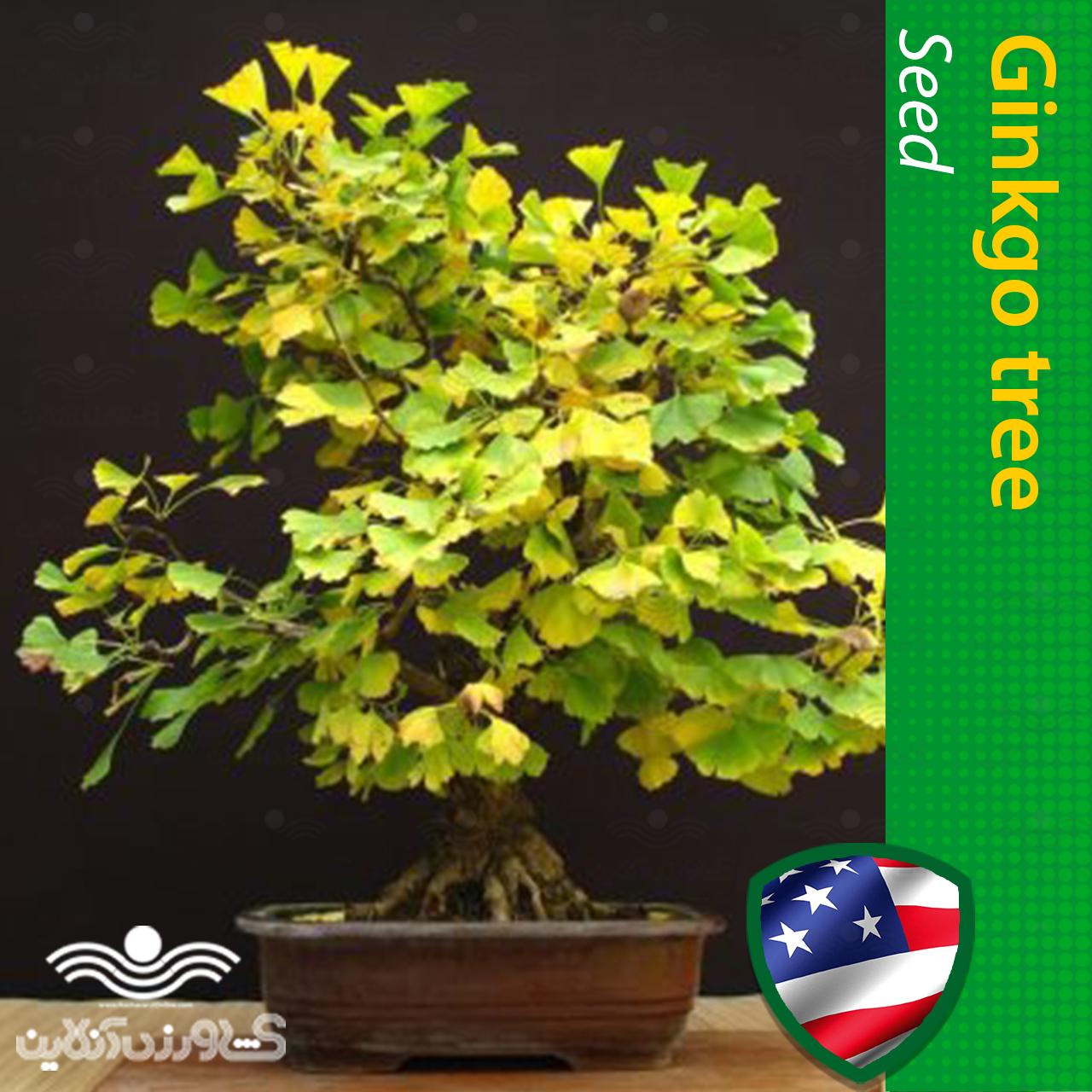 بذر درخت ژینکو یا جینکو و روش کاشت درخت ژینکو