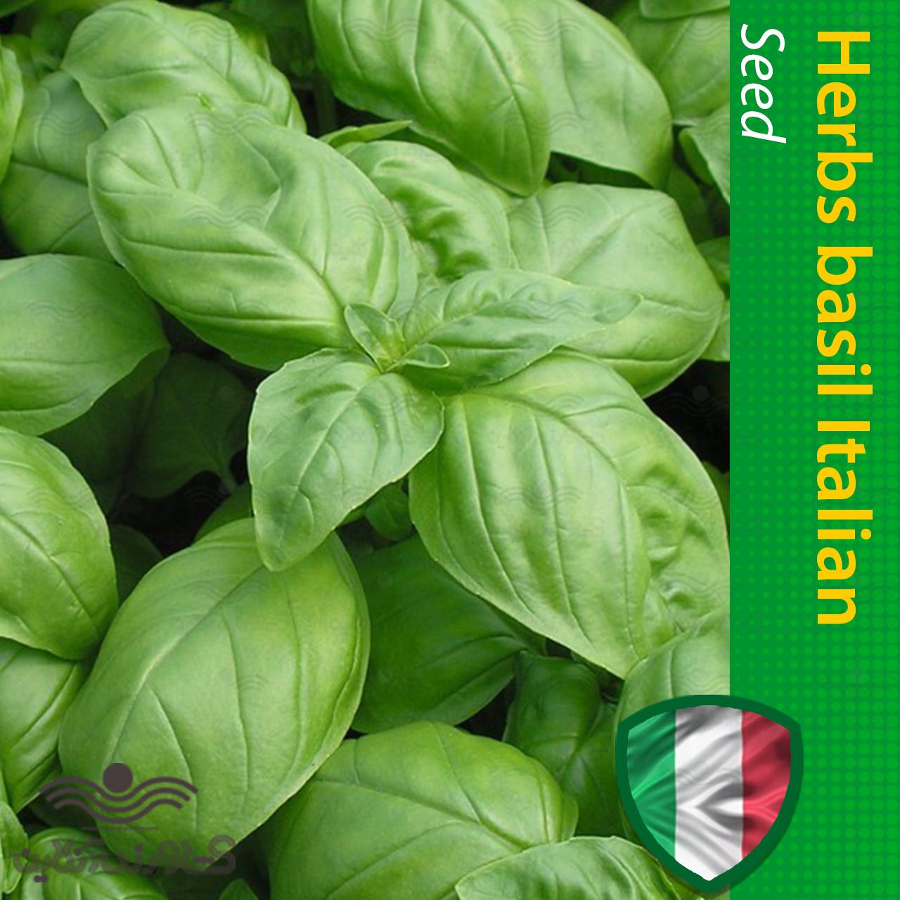 بذر ریحان ایتالیایی برگ بزرگ و روش کاشت ریحان