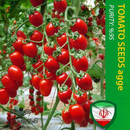 بذر گوجه فرنگی چری تخم مرغی