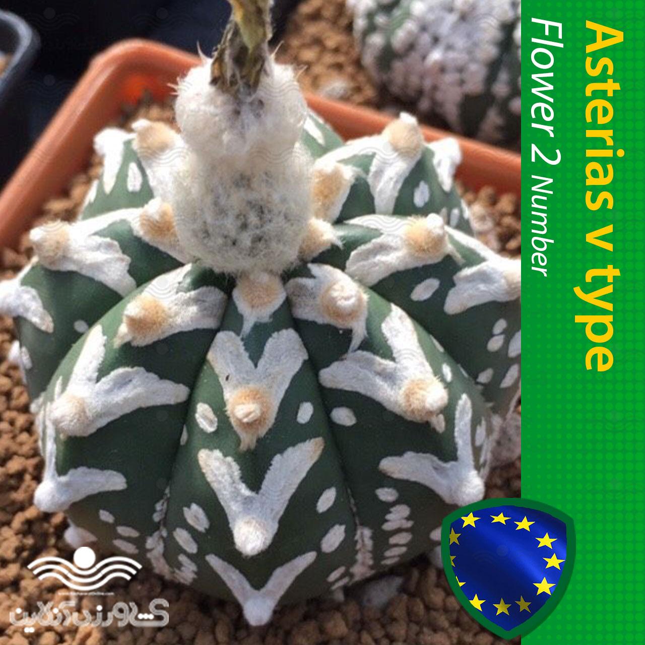 بذر کاکتوس آستریاس ویتایپ ندوم