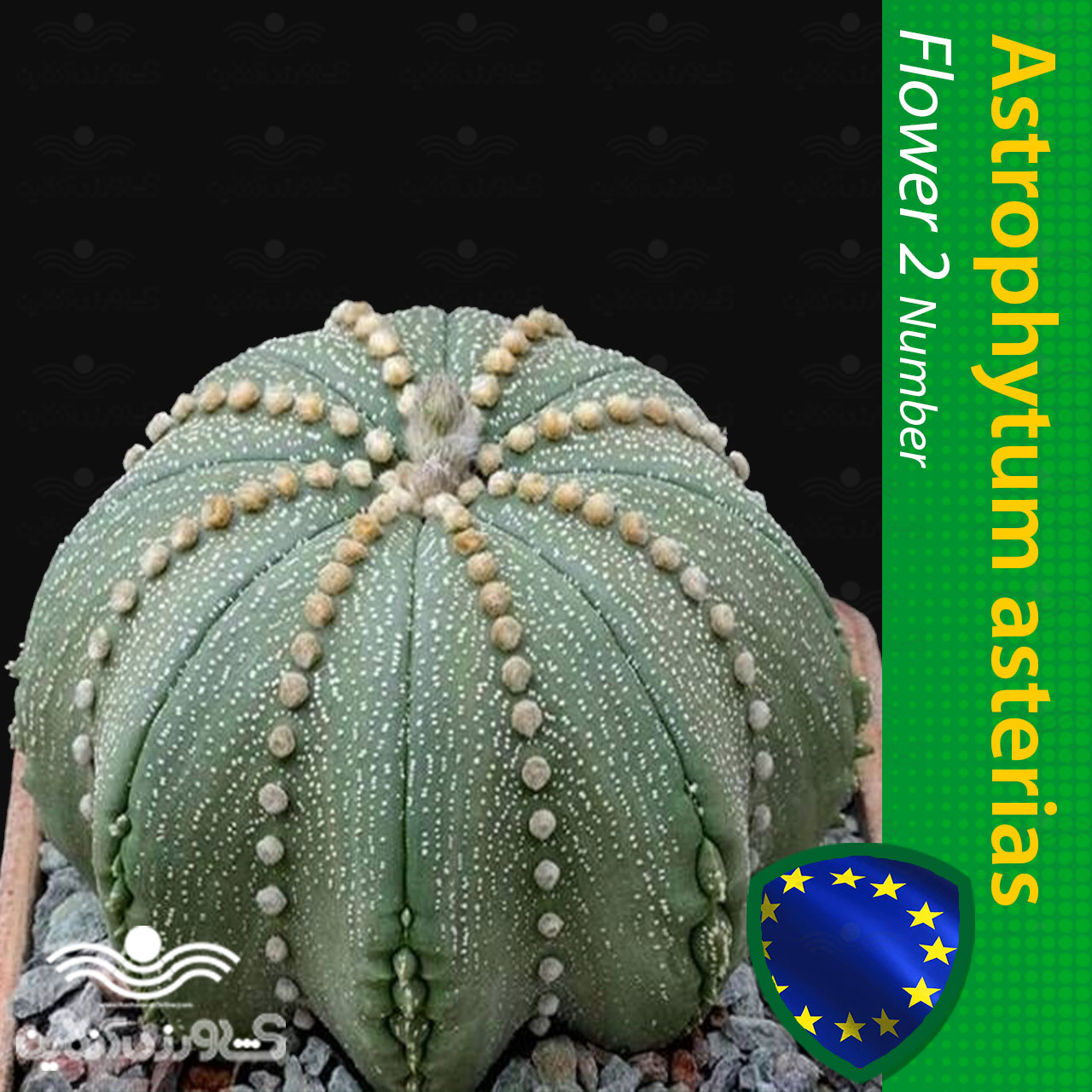 بذرکاکتوس آستریاس لاین آریول