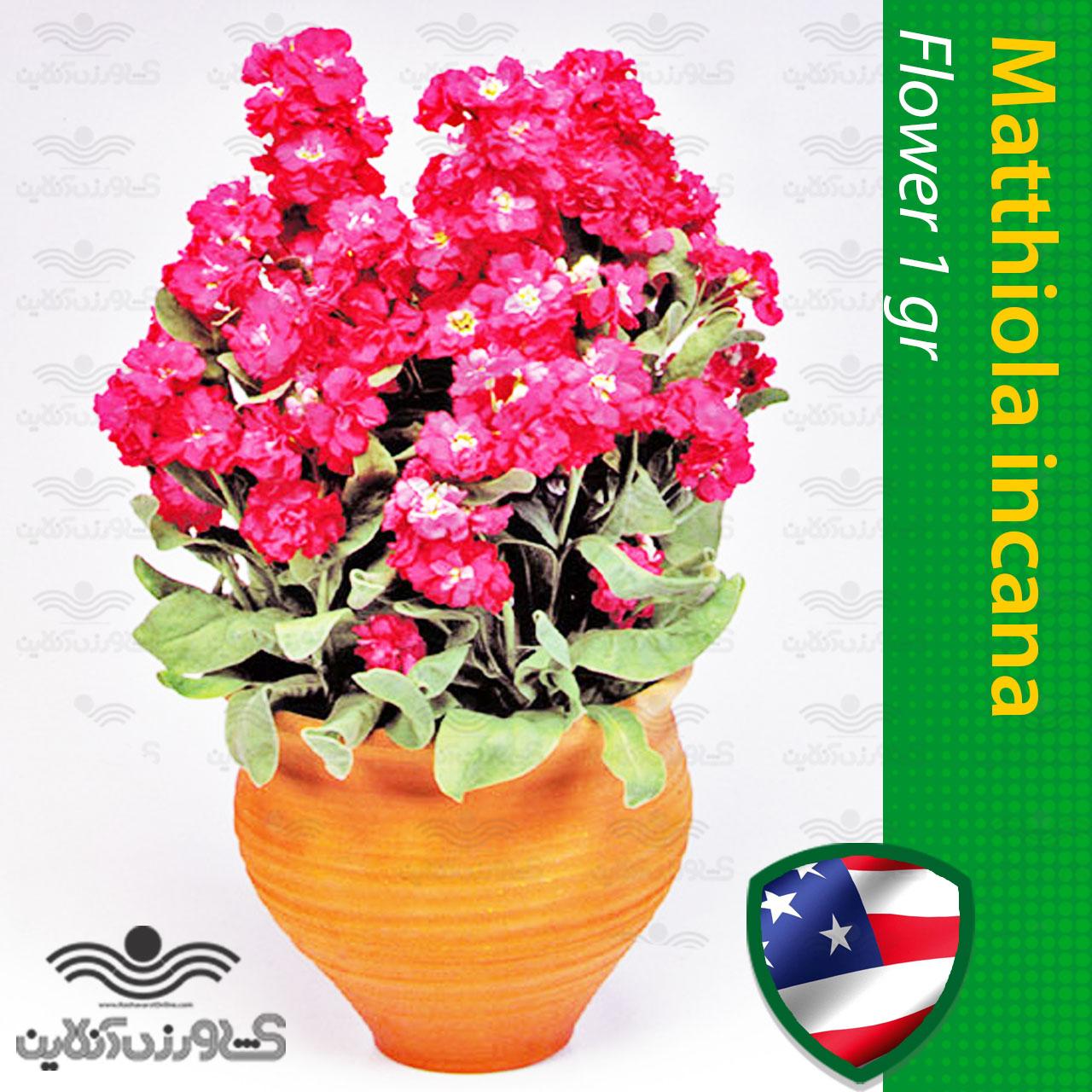 بذر گل شب بو آمریکایی قرمز