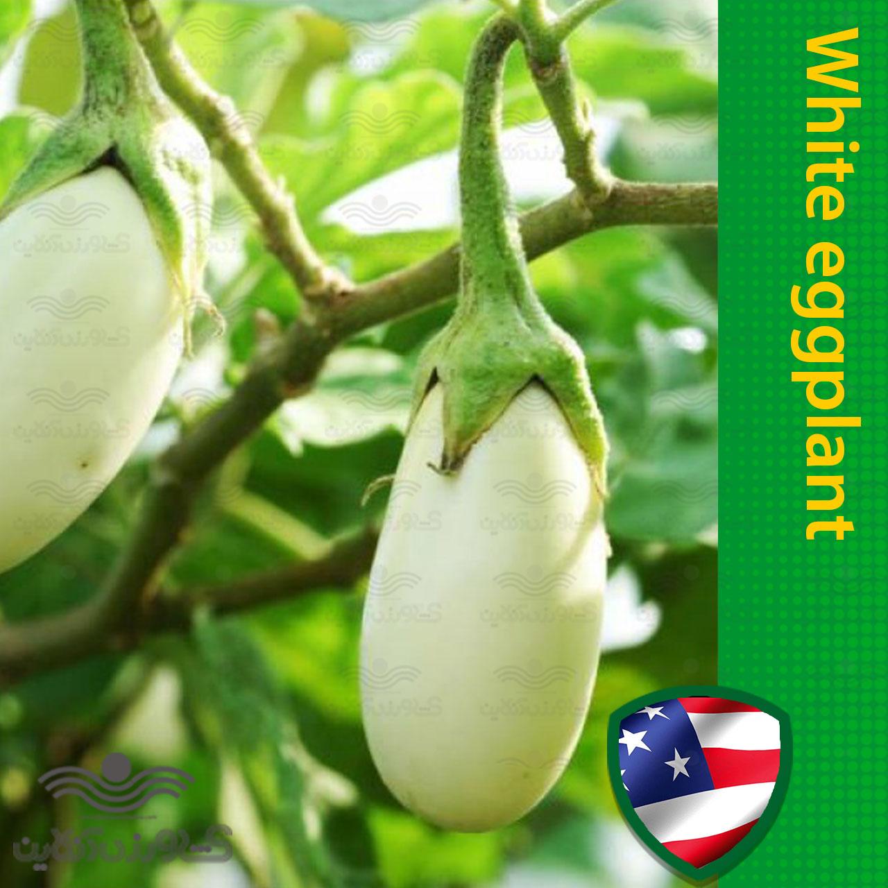 بذر بادمجان سفید خارجی