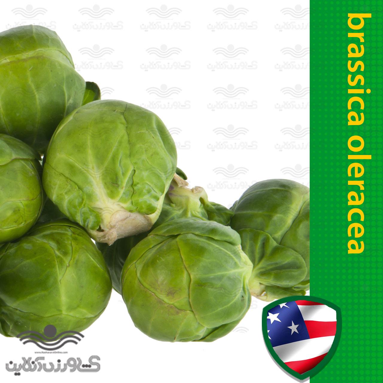 بذر کلم بروکسل آمریکایی