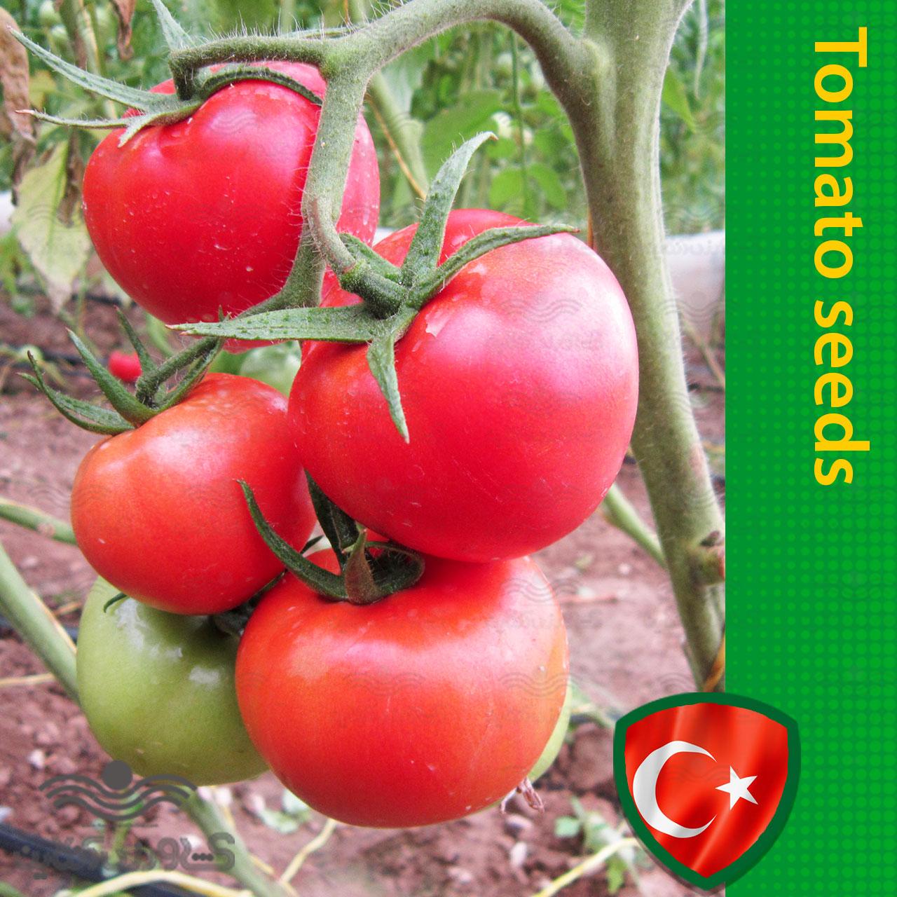 بذر گوجه فرنگی خوشه ای