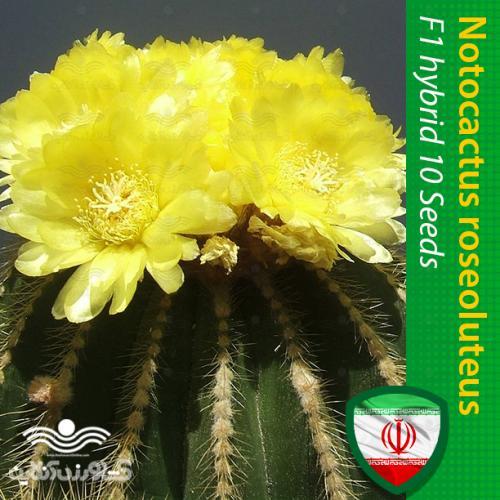 بذر گل نوتو کاکتوس