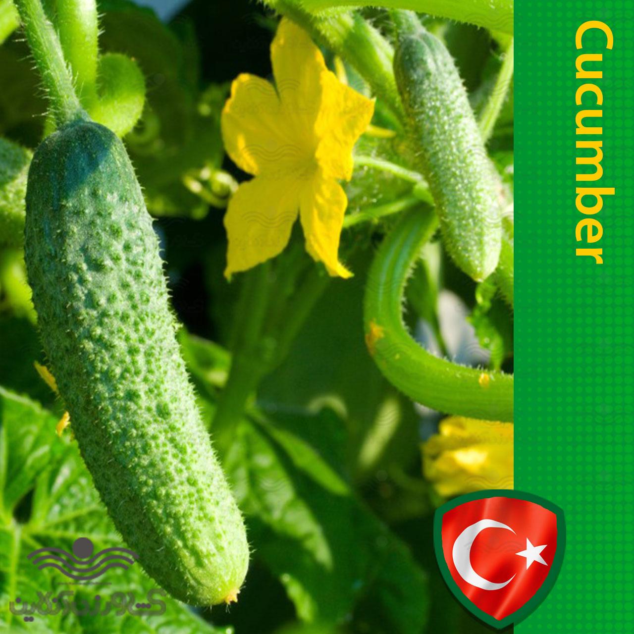 بذر خیار خاردار پرگل خانگی
