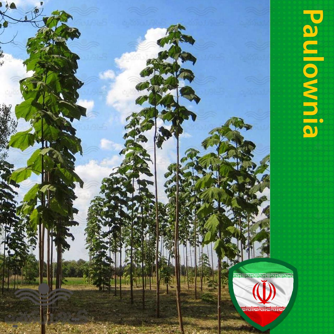 بذر پالونیا فورتنی 2 گرمی