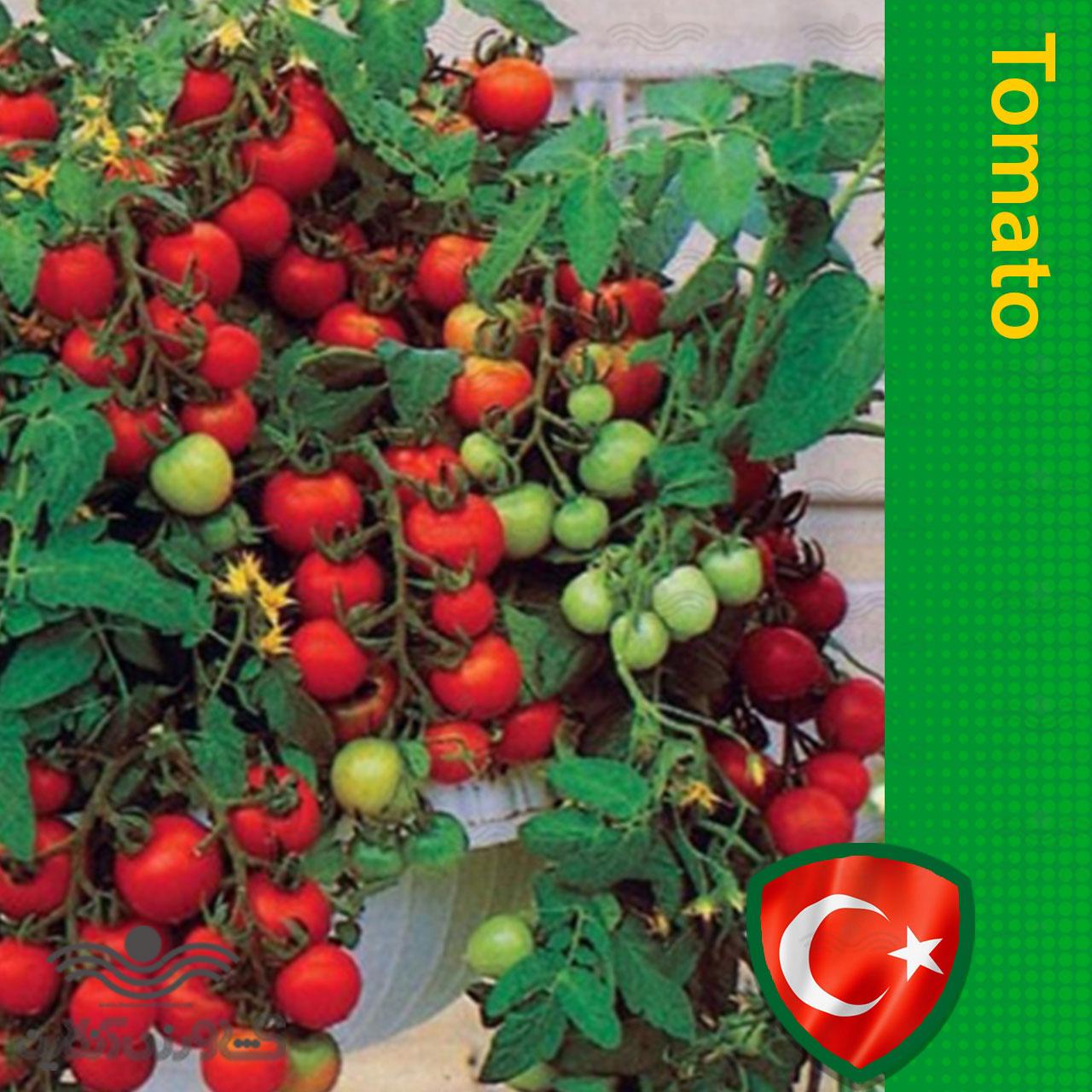 خرید بذر گوجه چری گلدانی