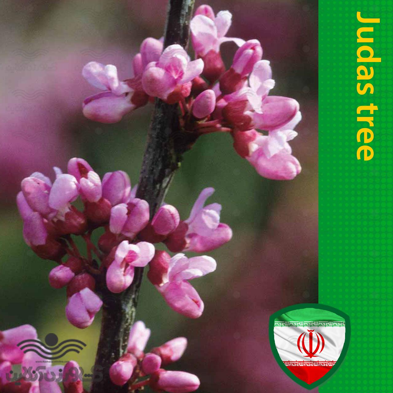 بذر درخت ارغوان ایرانی