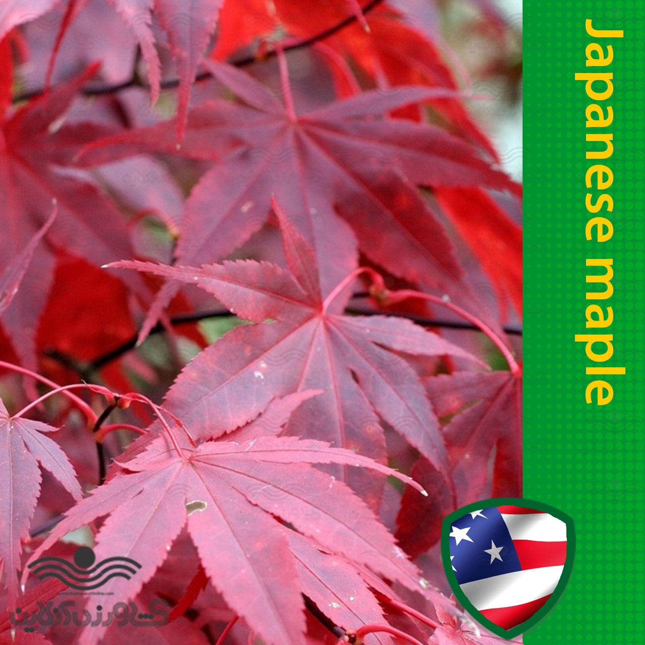 بذر افرا ژاپنی