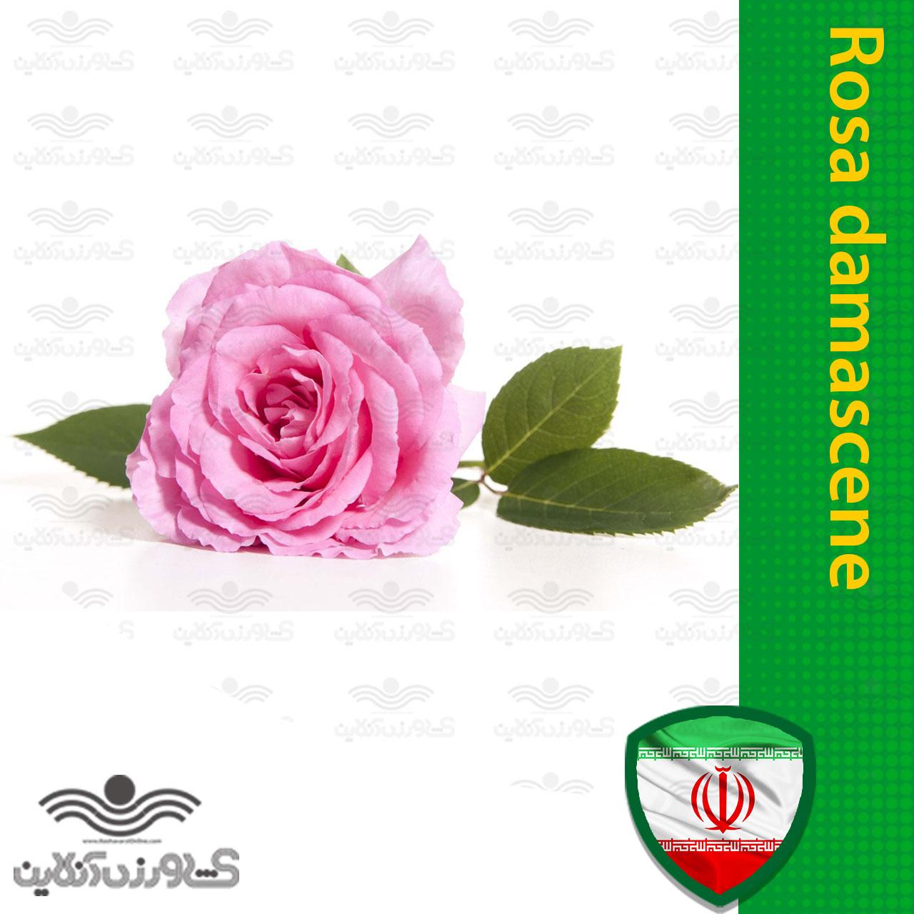 بذر گل محمدی