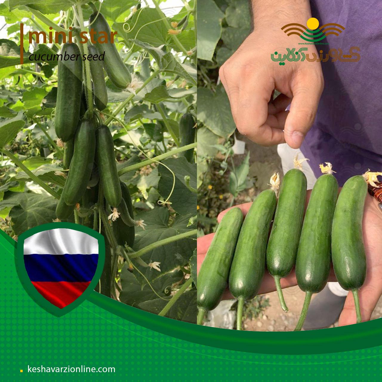 بذر خیار گلخانه ای مینی پرگل مینی استار