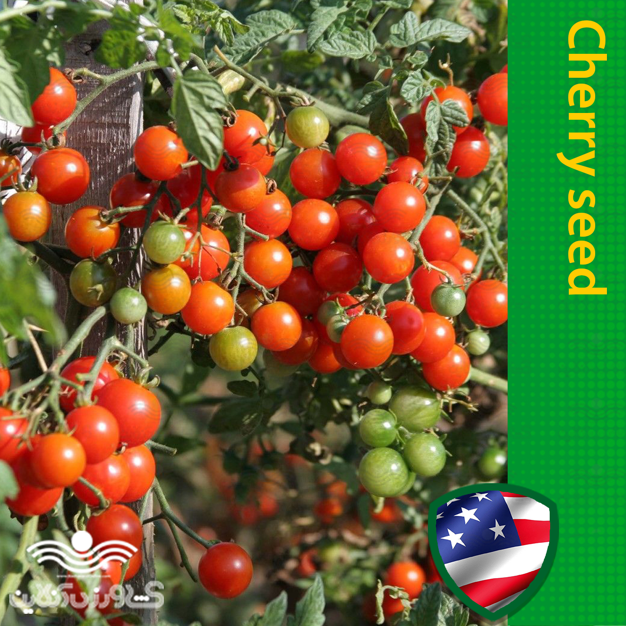 بذر گوجه چری گیلاسی درختی
