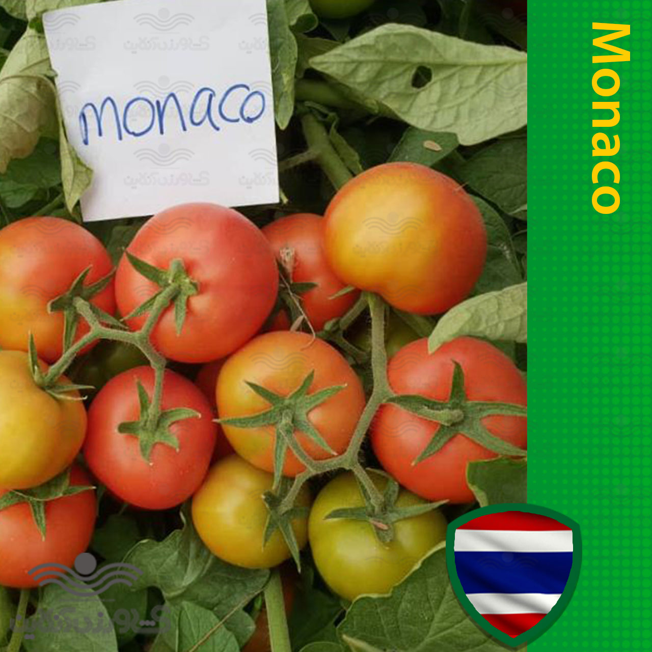 بذر گوجه فرنگی موناکو خانگی