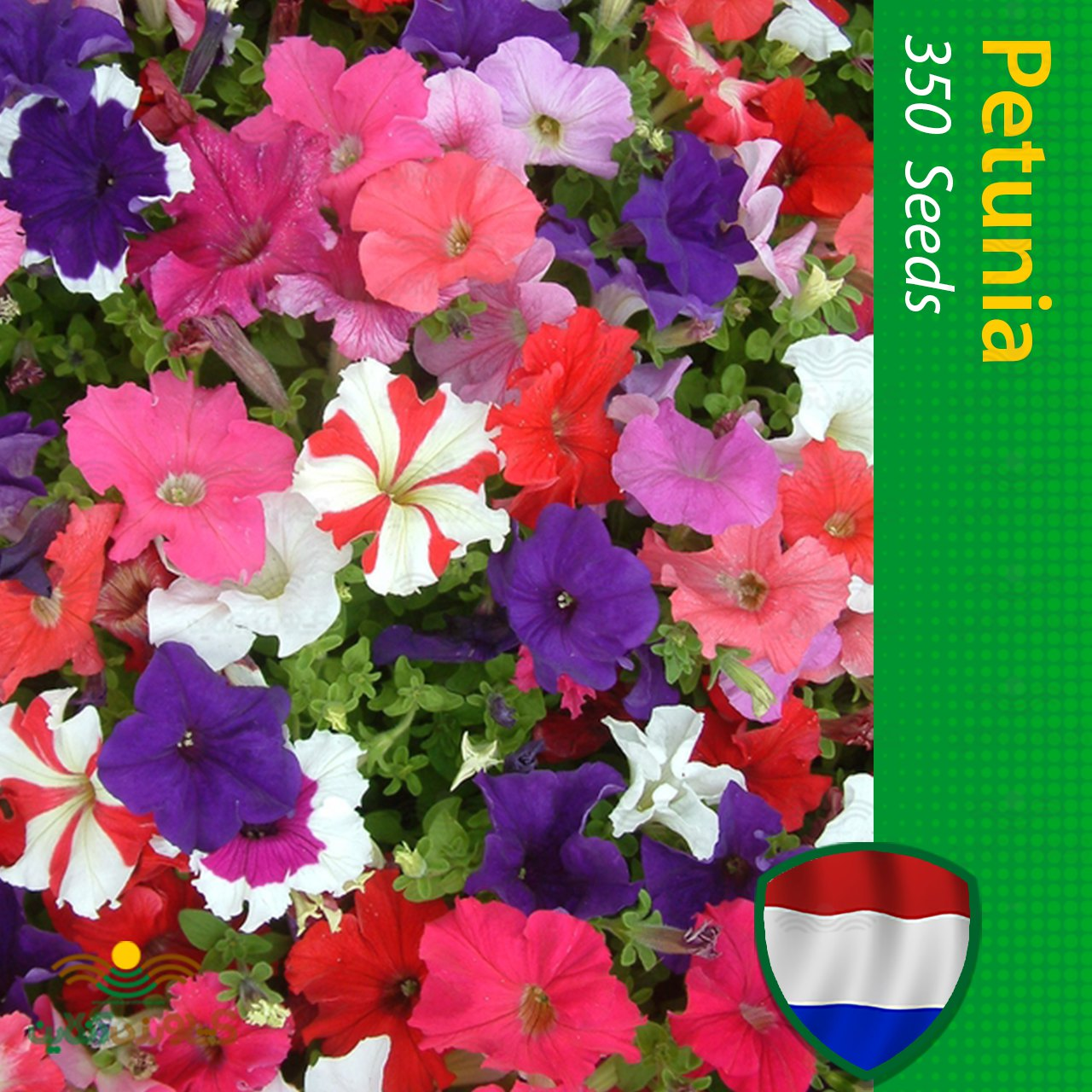 بذر گل اطلسی هلندی الوان