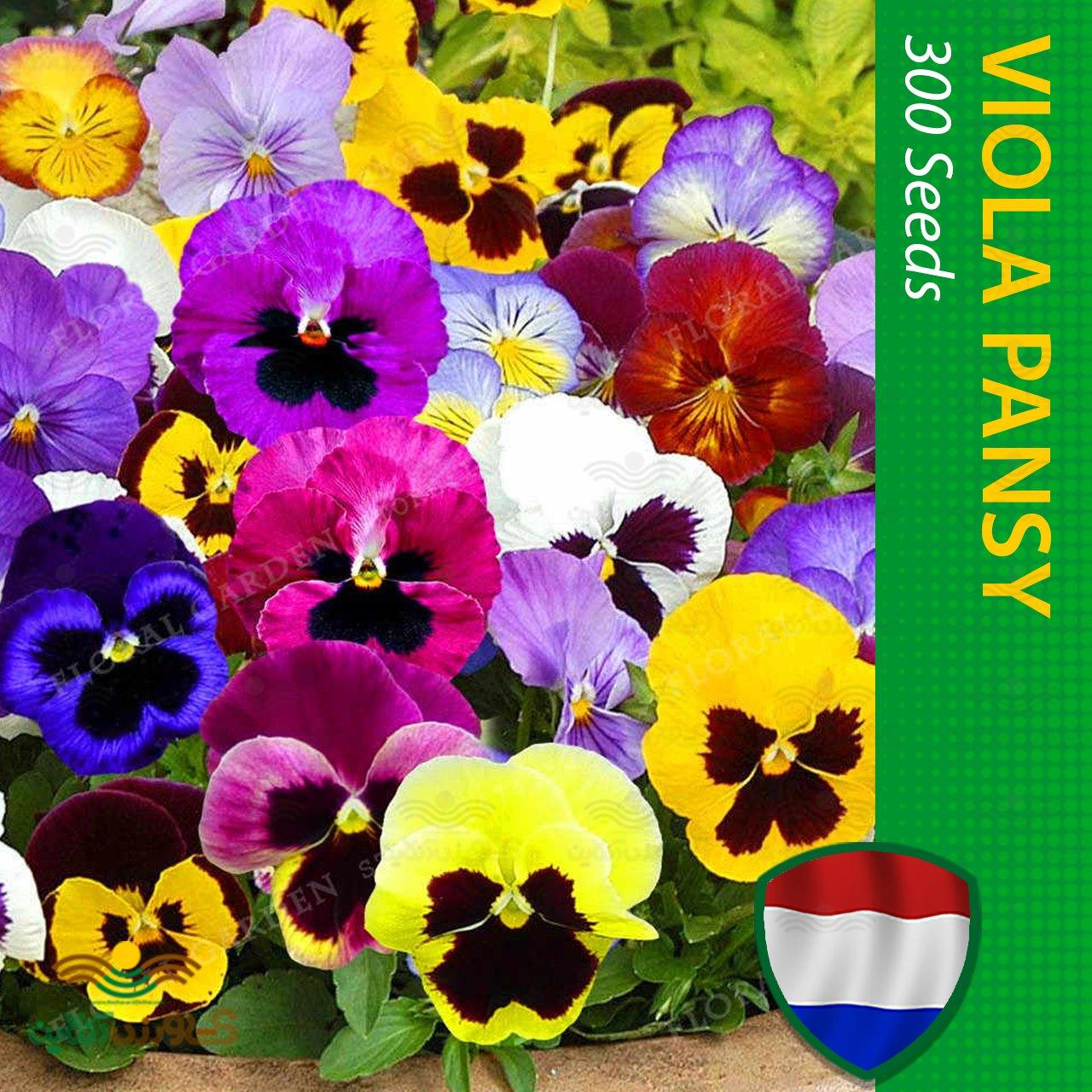 بذر گل بنفشه هلندی الوان