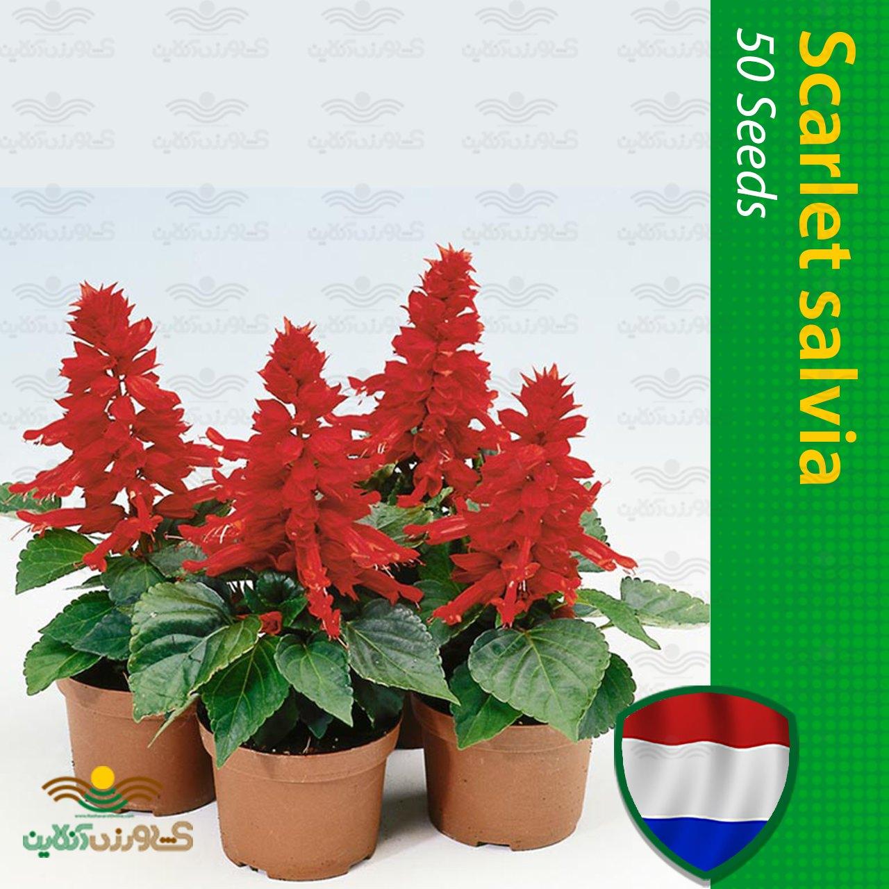 بذر گل سلوی قرمز هلندی