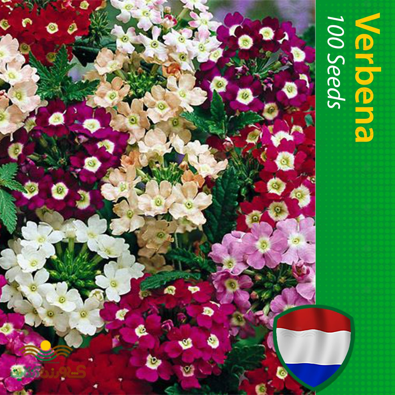بذر گل شاهپسند هلندی الوان