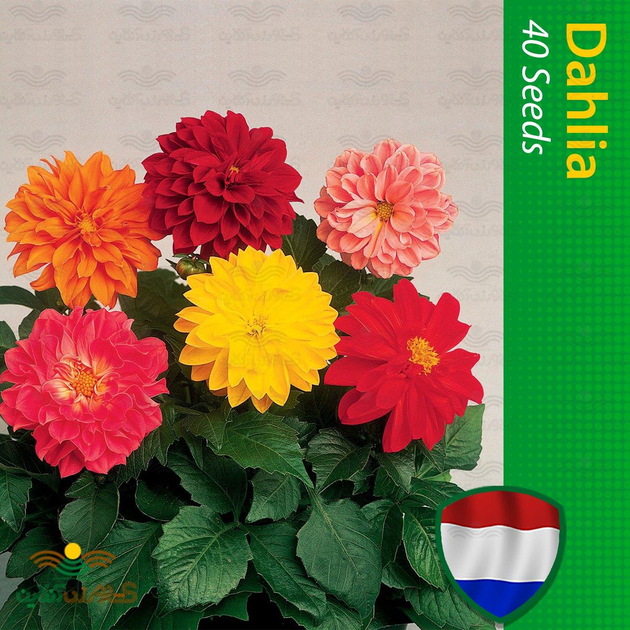 بذر گل کوکب هلندی الوان