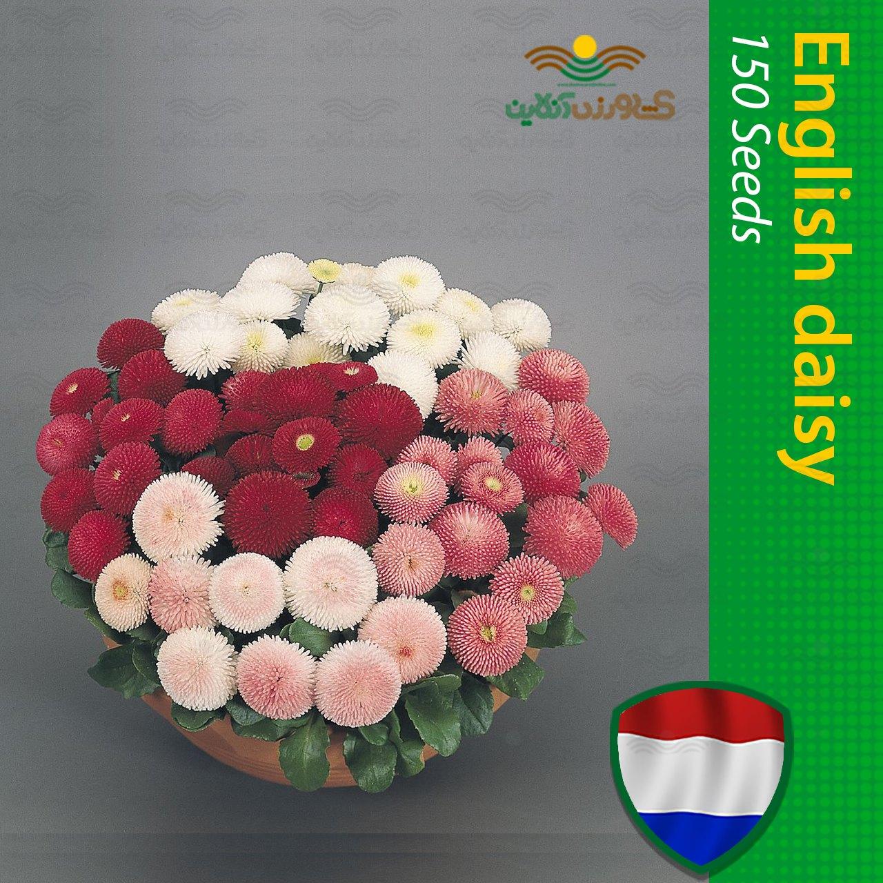 بذر گل مینا چمنی هلندی الوان