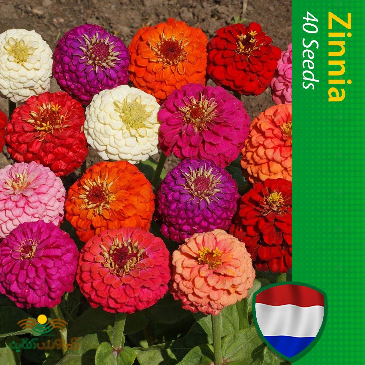 بذر گل آهار هلندی الوان
