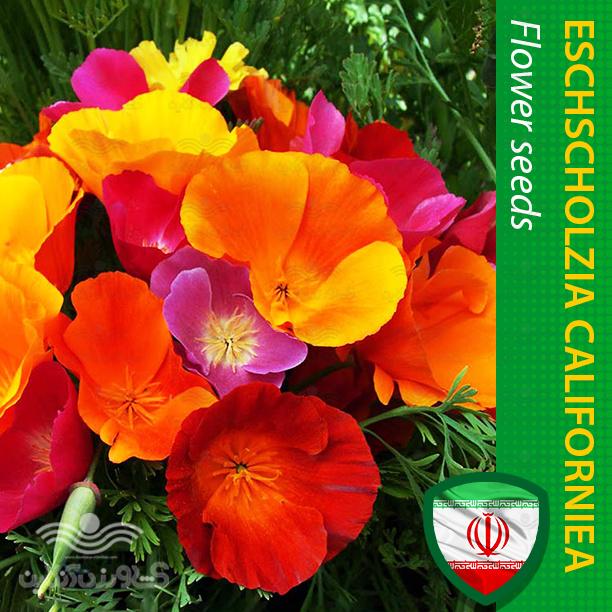 بذر گل شقایق کالیفرنیایی الوان