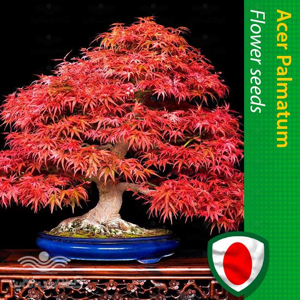 بذر افرا پالماتوم قرمز مخصوص بونسای