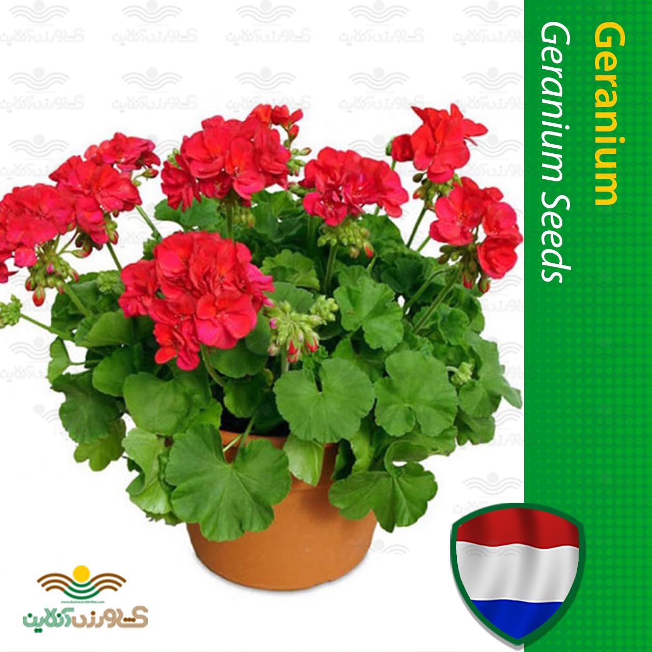 بذر گل شمعدانی خانگی