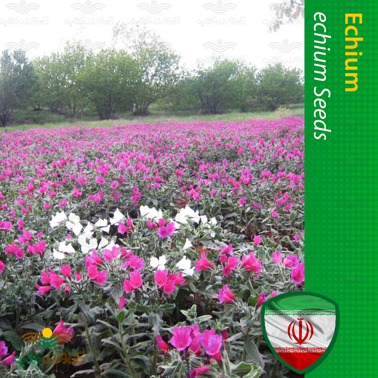 بذر گل گاو زبان ایرانی با کیفیت