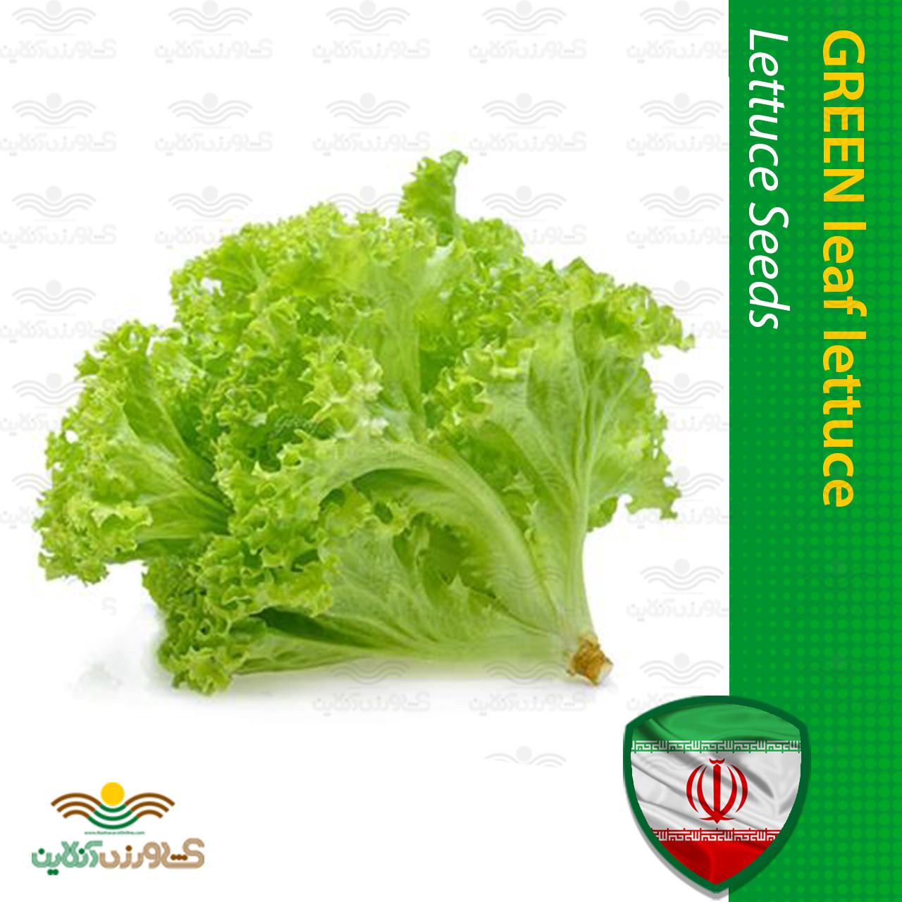 کاهو فرانسوی سبز و روش کاشت کاهو