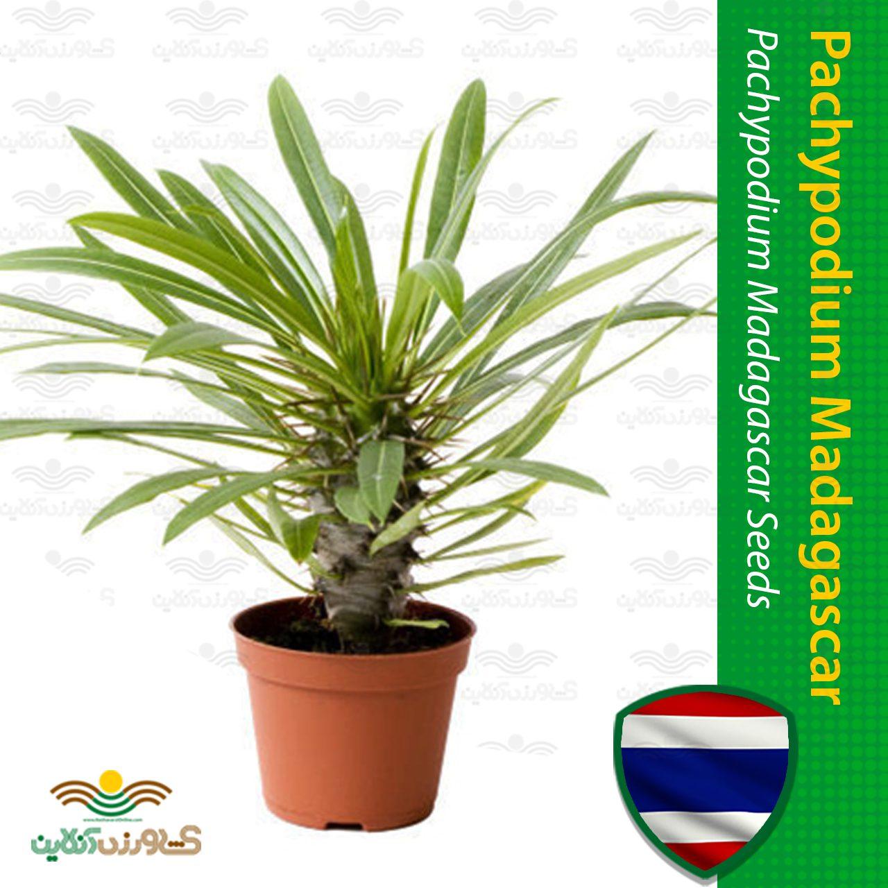 بذر نخل ماداگاسکار با کیفیت