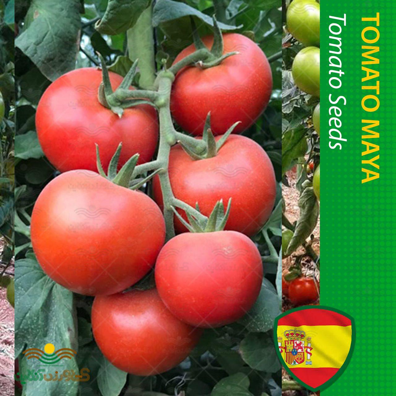 بذر گوجه پربار درختی مایا اسپانیایی خانگی