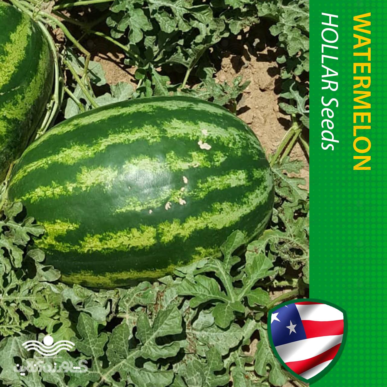 بذر هندوانه خطی آرژانتینی خانگی هولار آمریکا