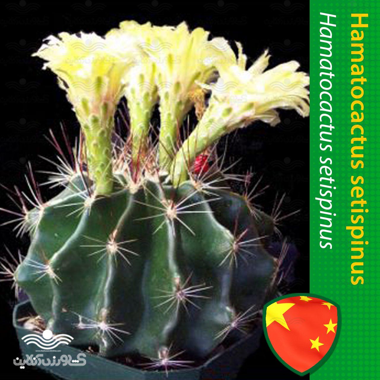 بذر کاکتوس هاماتو