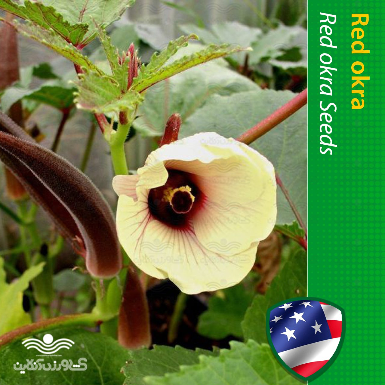 بذر بامیه قرمز آمریکایی