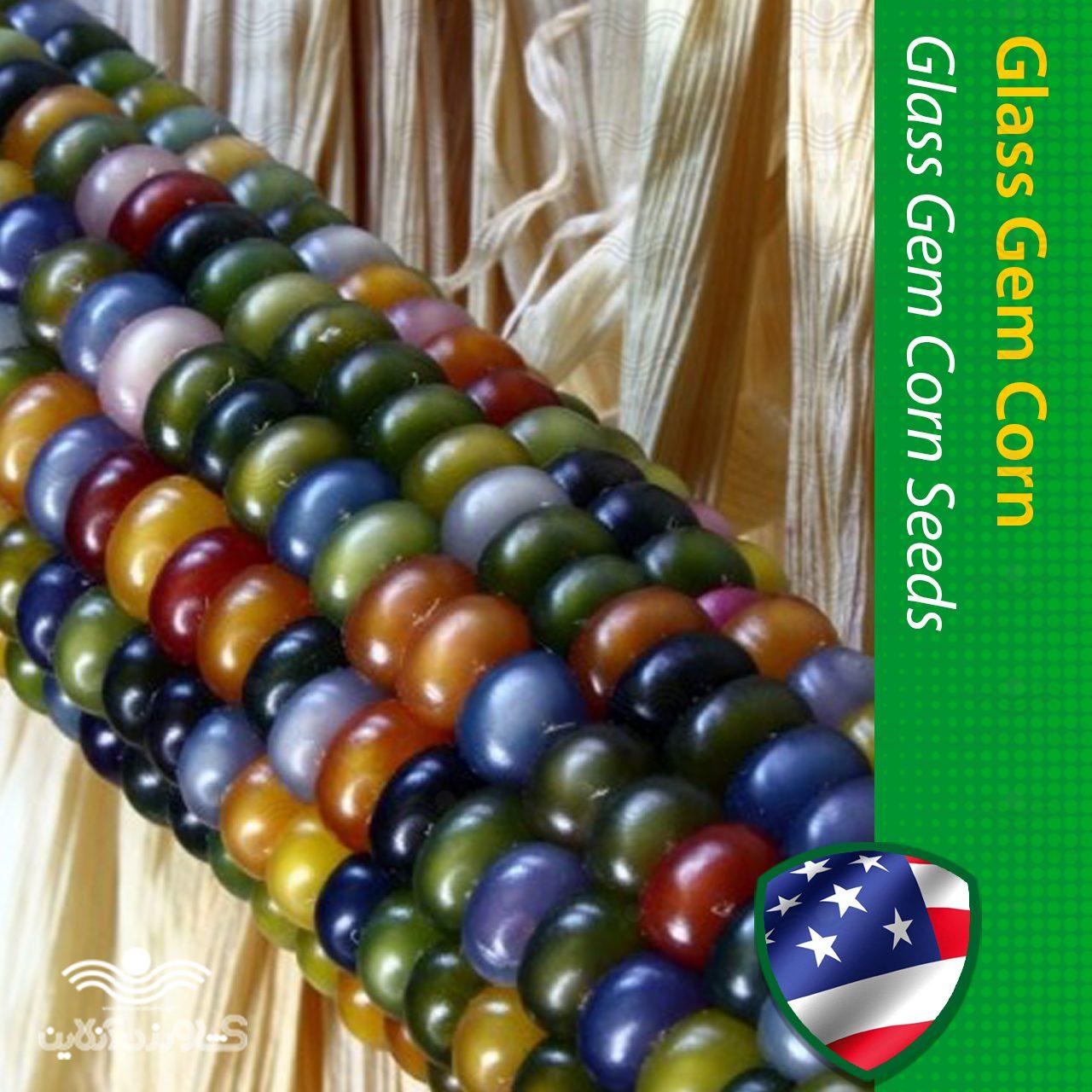 بذر ذرت گلس جم آمریکایی