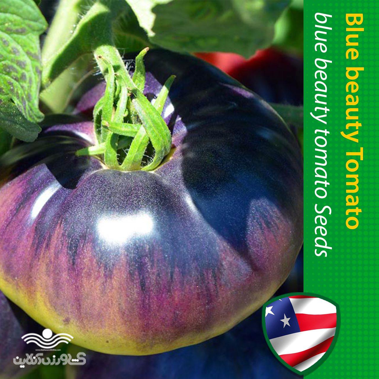 بذر گوجه فرنگی آبی زیبا