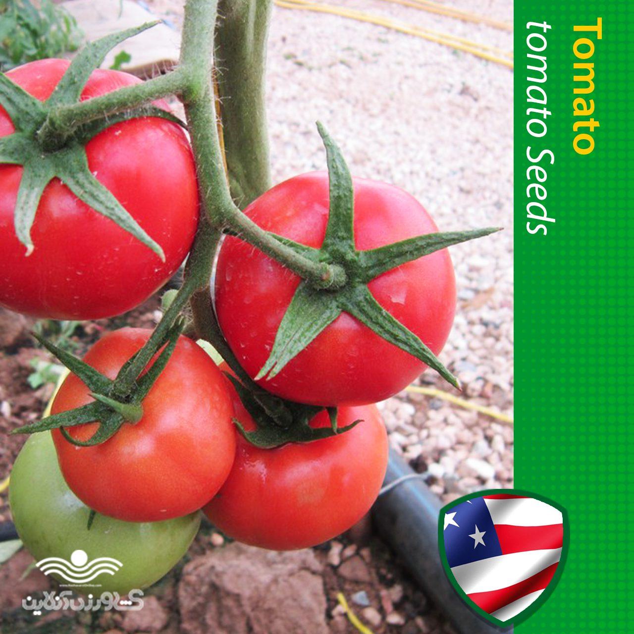 بذر گوجه گلخانه ای گرد خانگی
