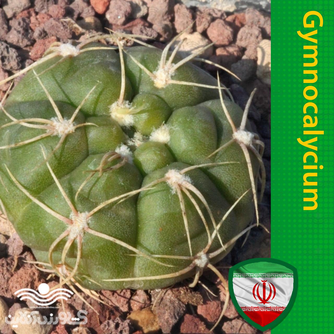 بذر ژمینو بروچی و روش تکثیر و نگهداری ژمینو