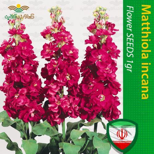 بذر گل شب بو قرمز و روش تکثیر و نگهداری گل شب بو