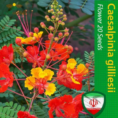 بذر گل ابریشم مصری و روش پرورش و تکثیر گل ابریشم مصری