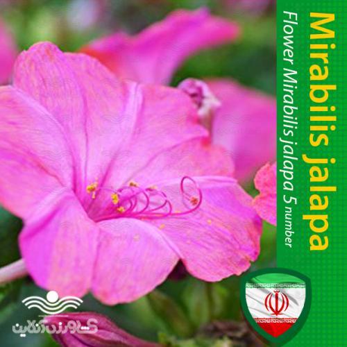 بذر گل لاله عباسی و روش کاشت آن
